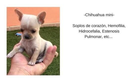 chihuahua-miniatura